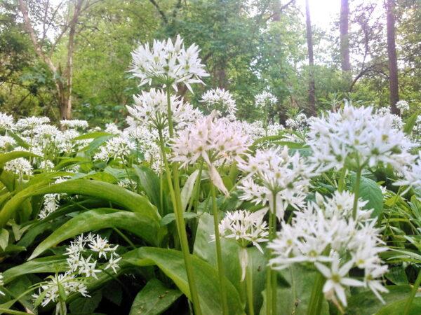 Bärlauch - Blüten 1