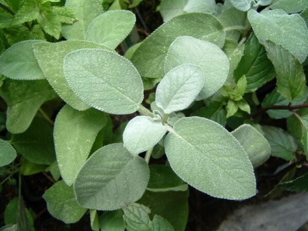 Salbei - großlaubig, aromastark 1